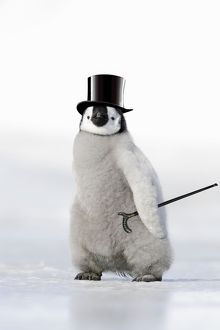 WAT-11396-M2 Emperor Penguin - chick wearing woolly hat.