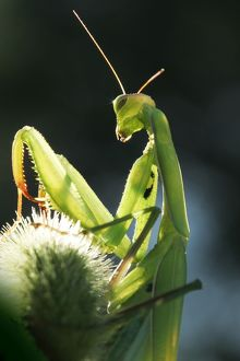 WAT-12574 Praying Mantis