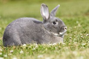 WAT-14344 Rabbit - Perl Feh / Parelfeh Breed - originated in Germany