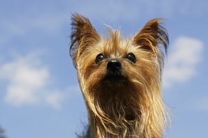 WAT-15109 Yorkshire Terrier Dog