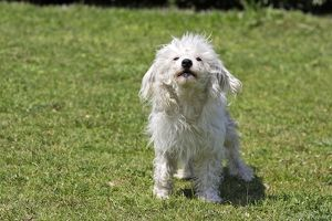 WAT-15145 Chinese Crested Powder Puff Dog