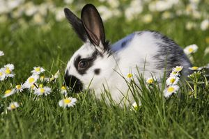 WAT-15148 Domestic Rabbit - young in daisies