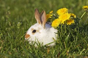 WAT-15157 Domestic Rabbit - young with dandelion