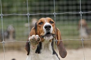 WAT-15593 Dog - Bassett Hound - used for hunting
