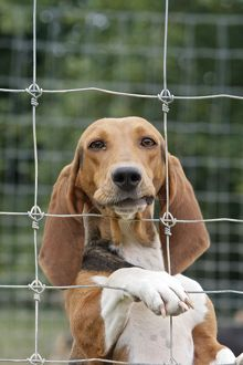 WAT-15594 Dog - Bassett Hound - used for hunting