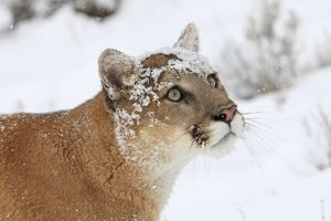 WAT-16092 Cougar / Mountain Lion / Puma - in snow.