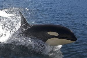 WAT-16315 Orca / Killer Whale - leaping / jumping
