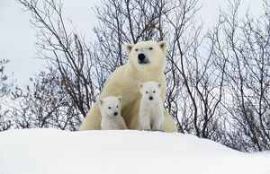 POLAR BEAR & cubs x two sitting