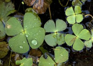 Water clover - An aquatic fern with 4-lobed leaves