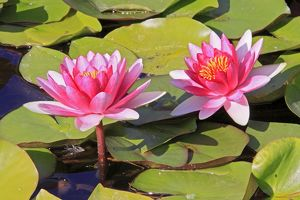 Waterlily - in flower