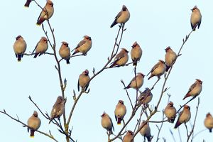 Waxwing - flock perched in tree - early morning