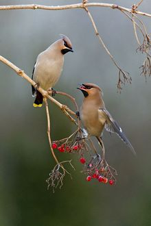 Waxwing - pair feeding on berries in winter