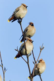 Waxwing - four perched in tree