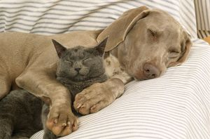 Weimaraner Dog - asleep on sofa with Blue Cat
