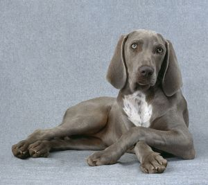 Weimaraner Dog - Lying with legs crossed
