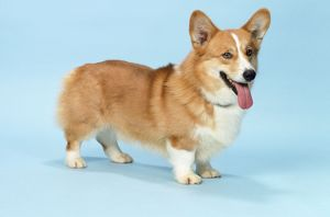 Welsh Corgi Dog - (Pembroke)