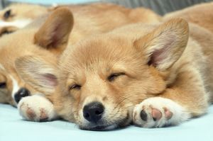 Welsh Corgi Dog - (Pembroke). close-up asleep