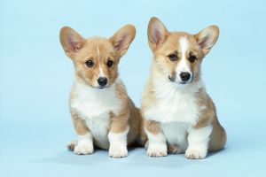 Welsh Corgi Dog - (Pembroke) puppies