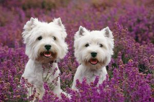 West Highland Terrier Dog - pair, sitting in heather