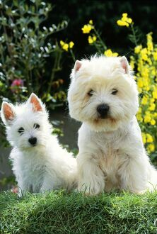 West Highland White Terrier Dog with puppy