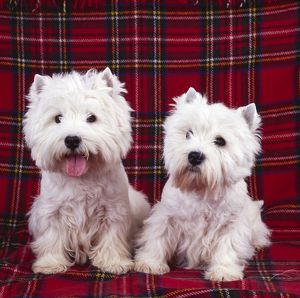 West Highland White Terrier DOGS - two sitting on tartan rug, one with tongue out