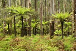 Wet Sclerophyll Forest - consisting of mainly Mountain Ash trees and impressive tree ferns