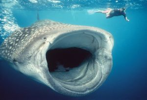 WHALE SHARK and Snorkeller - mouth open feeding. 60ft long.