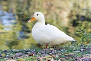 White Domestic Duck - standing on river bank
