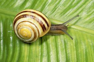 White-lipped Banded SNAIL / Humbug Snail - on green leaf