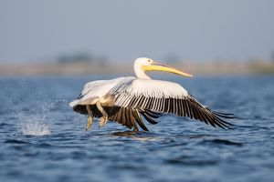 White pelican - taking off from lake surface - Romania