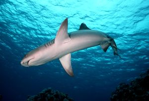 Whitetip / white-tip Reef Shark - A common shark in the tropical reefs of the Indo Pacific oceans.