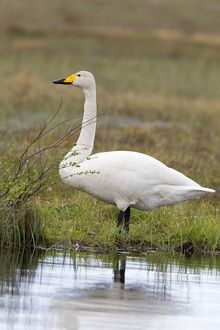 Whooper Swan adult male