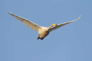 Whooper Swan - adult swan in flight - Sweden