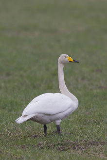 Whooper Swan - adult swan - Sweden