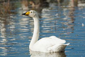 Whooper Swan adult winter