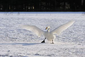 Whooper Swan in flight landing in snow