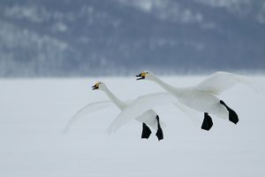 Whooper SWANS - in flight. Wintering on ice lakes