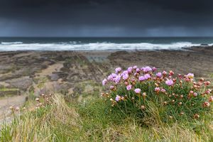 Widemouth Bay - Thrift in Flower