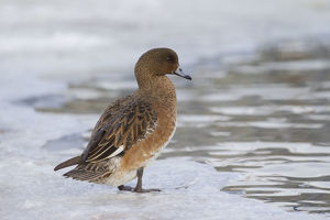 Wigeon - female - Iceland