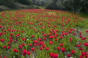 Wild Tulips - in ploughed field among olive groves