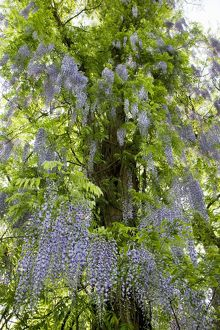 Wisteria Plant - with flowers