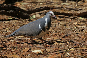 Wonga Pigeon in Queensland, Australia