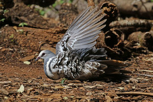 Wonga Pigeon taking a dust bath in Queensland, Australia