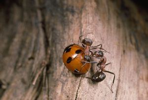Wood Ants - attacking ladybird