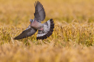 Wood Pigeon - adult bird in flight above a grain