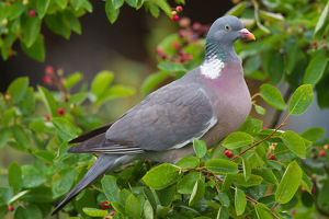 Wood Pigeon - adult bird foraging in a bush - Germany