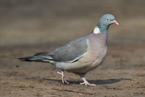 Wood Pigeon - adult bird - Germany