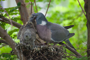 Wood Pigeon - adult feeding chicks at nest - Germany