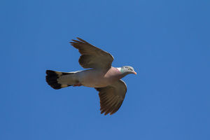 Wood Pigeon - adult in flight - Germany