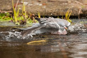 Wood pigeon - bathing in garden pond - Lincolnshire